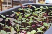 Bí kíp trồng rau dền trong chậu xanh tốt quanh năm