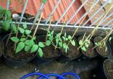 Cách đơn giản trồng đậu đũa trong chậu sai trĩu quả