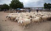 Cừu, bò được ăn ngon, đi dạo mát trên vùng