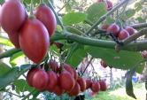 Những loại trái cây lạ đang