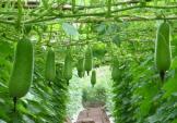 Tháng 8 nhất định phải trồng những loại rau quả này trong vườn