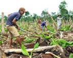 Sau giải cứu, dân Đồng Nai lại ồ ạt trồng chuối chờ TQ mua