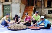 Mùa hạt dổi ở Hòa Bình: Một cây dổi đổi cả... chỉ vàng