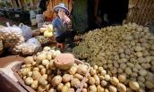 """Thâm nhập """"xưởng"""" làm giả khoai tây Trung Quốc thành Đà Lạt"""