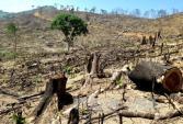 Bình Định: Phát hiện thêm khoảng 20 ha rừng bị tàn phá để trồng keo lai