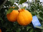 Đột nhập vườn cam lai quýt siêu đắt 300.000/quả