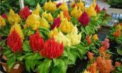 Cách trồng hoa mào gà vừa làm cảnh vừa làm thuốc