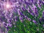 Vừa đẹp vừa thơm, đây chính là những loại hoa được ưu ái dùng để điều chế mỹ phẩm