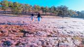 Vì sao sau một đêm cỏ hồng ở Đà Lạt biến thành cỏ tuyết?
