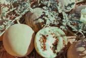 Kỳ lạ dưa hấu trắng đắt đỏ nhưng không ăn được