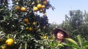 Lòng vàng - giống cam Đệ nhất thủ phủ cam Hòa Bình ngon ra sao?
