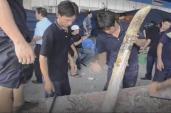 Lật tẩy thủ đoạn của các công ty buôn lậu ngà voi