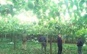 Mướt mắt vườn chanh leo Sơn La sắp xuất ngoại Thụy Sỹ