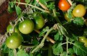 Lạ đời cách trồng cà chua