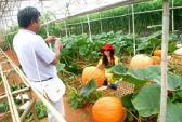 Thăm vườn bí ngô khổng lồ ở Đà Lạt khiến du khách