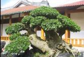 Ngắm loạt cây duối bonsai trấn phong thủy đẹp hút mắt