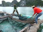 Nơi duy nhất ở Việt Nam nuôi 100 con cá song vua bố mẹ