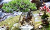 Aqua bonsai - Thú chơi cây cảnh độc nhất vô nhị Tết 2018