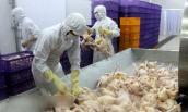 Không xuất khẩu được gà vì… đàn vịt nhà hàng xóm