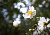 Ngắm hoa sở nở trắng rừng nơi vùng biên giới Quảng Ninh