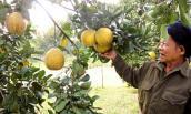Ngỡ ngàng vườn bưởi Diễn Hà Nội nghìn quả ngay tại Hà Tĩnh