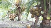 Đếm đủ 15-20 triệu/tháng từ trồng dừa Mã Lai, trái ra sát đất