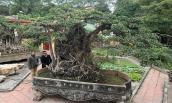 Đổi 8 lô đất giá triệu USD lấy cây sanh cổ nhất châu Á