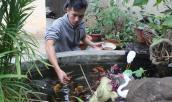 Nở rộ trào lưu nuôi cá Koi độc-lạ Nhật Bản ở phố núi Tây Nguyên
