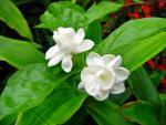 Bonsai hoa nhài đẹp mắt khiến dân mê cây cảnh điêu đứng