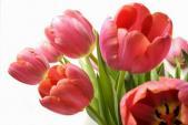 Cách chăm hoa tulip để nở rộ đúng dịp Tết Nguyên đán