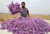 Cảnh kỳ công thu hoạch hoa nghệ tây siêu đắt đỏ