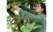 Lên xứ Lạng xem trồng na gối vụ ra quả ở thân sai