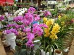 Đã mắt ngắm vườn hoa tết giữa lòng thành phố Sơn La