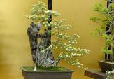 Mê mẩn cúc bonsai siêu đẹp trưng Tết