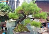 """70 triệu đồng """"siêu phẩm"""" phi lao bonsai ở Hà Nội"""