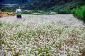 Ngỡ ngàng hoa tam giác mạch Hà Giang khoe sắc tại Sài Gòn