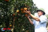 """""""Lạc trôi"""" trong vườn cam bù gần 20 tấn chín mọng"""