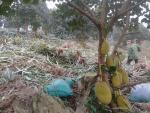 Vườn mít Thái quả đẹp mê hồn bên hồ Núi Cốc