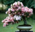 Chăm sóc hoa Đỗ Quyên nở tươi rực rỡ chưng ngày Tết