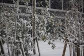 Ảnh: Tuyết đầu mùa phủ trắng trời Tokyo