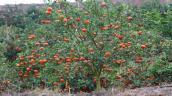 Mê mẩn vườn cam tiền tỷ chín đỏ cả đồi