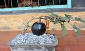 Mê tít những chậu bonsai cà tím siêu lạ mắt