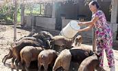 """Về tận làng quê """"khuân"""" lợn rừng, dê, gà chân voi ăn Tết"""