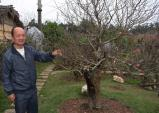 Vườn đào cổ thụ trăm năm tuổi có một không hai: 150 triệu/gốc