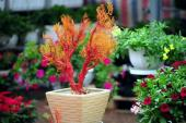 San hô bonsai siêu độc cho Tết thêm rực rỡ sắc màu