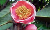 Tìm thấy cây trà hoa đỏ cực quý hiếm tại Yók Đôn