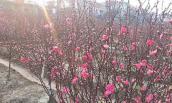Người trồng đào Nhật Tân chỉ cách chọn đào chơi Tết ưng ý