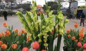 Độc đáo hoa lay ơn xanh đón Tết Mậu Tuất 2018