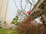 Rợp màu hoa đào Nhật Tân vào Nam khoe sắc, dân Sài thành thích mê