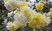 Ngày Tết, chăm hoa hồng thế này mới tươi lâu, chẳng lo sâu bệnh